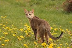 The Chausie Cat