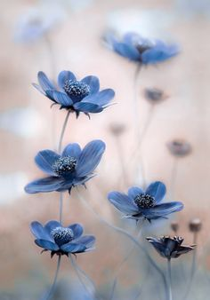 love the simple focus on the blue cosmos, and the soft bokeh in the background
