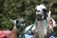 Noah's Ark in Colorado has a llama trek that looks like so much fun!