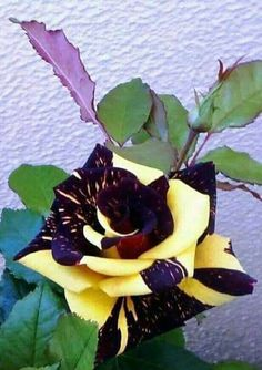 """""""Sin olor no hay flor completa. Beautiful Rose Flowers, Unusual Flowers, Unusual Plants, Rare Flowers, Amazing Flowers, Flower Pictures, Trees To Plant, Purple Flowers, Planting Flowers"""