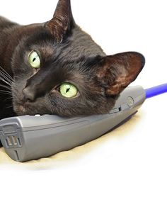 Phone frenzy       Many cats come running when owners talk on the phone and they pester and meow like they want in on the conversation. What gives? Your cat sees you talking and since there is no one else there, thinks that you must be talking to them. Also, without realizing it, you may be rewarding that behavior by stroking the cat while you are sitting and talking on the phone, which encourages your kitty to come running next time the phone rings.