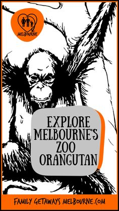 Endangered Orangutans at the Melbourne Zoo Orangutan Sanctuary, Melbourne Zoo, Visit Melbourne, Melbourne Attractions, Man Made Environment, City Zoo, Fun Days Out, Animal Species