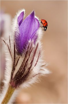 Ladybug and Flower Bokeh Photography, Stunning Photography, Fotografia Macro, A Bug's Life, Ladybird Books, Belleza Natural, Purple Roses, Beautiful Creatures, Lady In Red