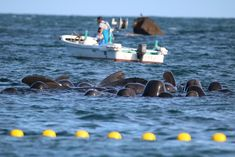 Pilot whales terrorized in Taiji Japan