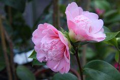 """Camellia jap. """"Peter Pan"""""""