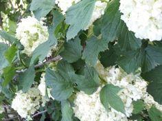 viburno-palla-di-neve-foglie