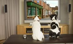 Is YOUR dog a telly addict? #DailyMail