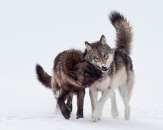 eradication of wolves upsets balance of nature in yellowstone Between 1995-2009, over 13,000 articles appeared in the electronic pages of the monitor these are quick summaries of some past stories.