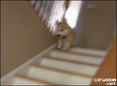 Just a #corgi... making his way down the stairs the only way he knows how.