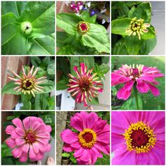 Zinnias - one of my favorite flowers, very easy to grow & the birds love them