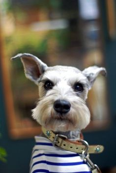 Temperament and Personality of Miniature Schnauzer