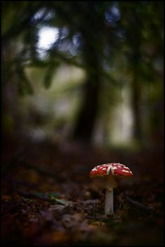 Fly Agaric (Amanita muscaria) POISONOUS