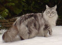 Maine Coon - Big and gorgeous with the sweetest disposition of any domestic cat.