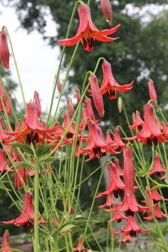 Lilium canadense v. editorum 'Reverend Walker' (Reverend Walker Canada Lily)