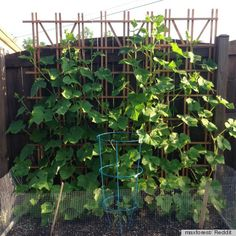 Small-Space Gardening Idea Uses A Trellis To Grow Vegetables Vertically