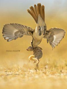 Turkestan Shrike (Lanius phoenicuroides) hunting a Spiny-tailed Lizard.  Bird photography by Igano Kabamar.