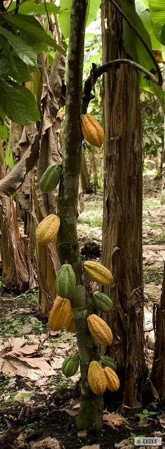Cacaoyer variété Nacional (Forastero) / Nacional variety Cocoa Tree - ©KAOKA