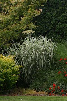 Miscanthus sinensis var. condensatus 'Cabaret' VARIEGATED MAIDEN GRASS