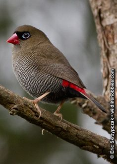 This is a photo of a Firetail finch - Beautiful - by Eric Skrzypczak via wildlifehobbies.com