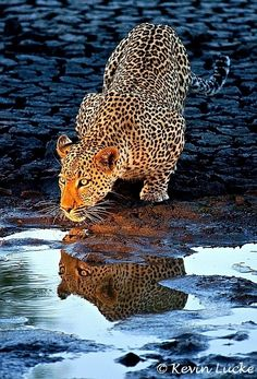 A leopard drinking from a small pool of water.