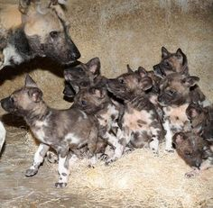 10 AFRICAN WILD DOGS ~    Brookfield Zoo's African Wild Dog, Kim, put other mothers' labor stories to shame when she gave  birth to 10 precious pups. The new pack was welcomed around the world as an adorable boost to a severely endangered species.