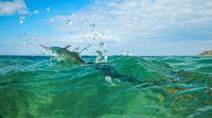 Garfish in the Danish spring ocean water