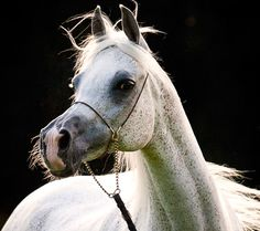 arabian mare bandola - Google Search
