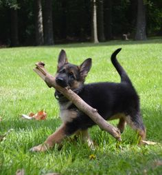 The German Shepherd is an adaptable, intelligent and versatile dog breed utilized worldwide. German Shepherd Husky, German Shepherd Pictures, German Shepherds, Gsd Puppies, Cute Puppies, Pet Dogs, Dog Cat, Animals And Pets, Cute Animals