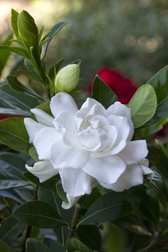 Monrovia ~ Everblooming Gardenia-My fav!!