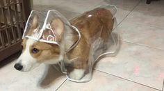 Just a corgi in a corgi raincoat hating its life http://ift.tt/22Ft16Z