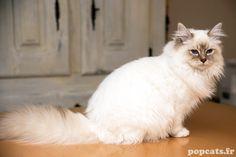 Le chat sacré de Birmanie une race féline à part entre le persan et le siamois. Un regard bleu de mer une immense tendresse. Portrait d'un chat d'exception.