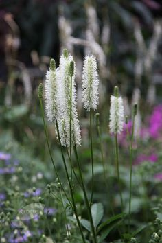 Buy Canadian burnet Sanguisorba canadensis: Delivery by Crocus.co.uk ?...BOUGHT