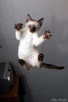 Siamese kitten ~ jump