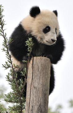 #panda #pandas ❤️ Sky is the Limit by Josef Gerlernter