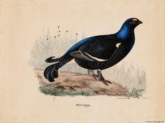 Kansallisgalleria - Taidekokoelmat - Teeri Birds, Tattoos, Painting, Animals, Museum, Tatuajes, Animales, Animaux, Tattoo