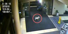 """A little more info """"'Dogged determination' has a mascot, and it's a miniature schnauzer named 'Sissy.'  On Sunday, the dog escaped from her yard in Cedar Rapids, Iowa, walked 15 to 20 blocks to the hospital, and then sneaked inside to find her huma..."""""""