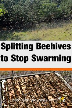 How to Split a Beehive-The Basics Splitting a beehive may reduce swarming. It does not always work but every beekeeper should know how to split a hive. Honey Bee Hives, Honey Bees, Bee Facts, Bee Hive Plans, How To Split, Beekeeping For Beginners, Bee Swarm, Buzzy Bee, Raising Bees