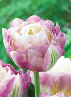 Double peony tulip sweet desire 2 of my favorite flowers in one?!?! LOVE!