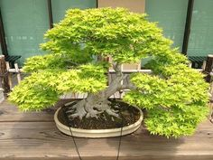 Bonsai Trees There are a number of different types of species that are commonly used to make Bonsai trees, each of which has its own symbolic meaning in the Japanese culture.