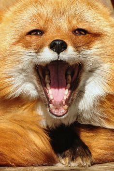 """Red Fox ~~ and then he said, """"You're such a sly one, Tod"""" and I laughed and laughed!"""