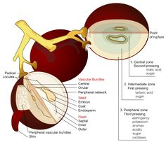 Anatomy of a grape, showing the components extracted from each pressing.