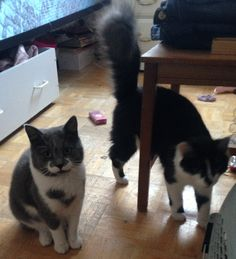 Hans Solo (here seen on the left with Daisy) has found a forever home in #Montreal ~   These two young lovebirds found each other while staying in the same foster care and are inseparable since them! It would be beautiful to find them a forever home together <3  Can we make this happen, a furry together, forever?  Meet Hans Solo and his Daisy here: www.facebook.com/cause4paws