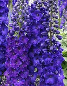 """Delphinium Pagan Purple. These elegant spires of deep purple reach tall above the garden. Put them in the back where they are easily seen and supported. The flower petals have an extra frilly edge to them from their many layers of petals. Delphinium Pagan Purple are stunning! Zone: 3-8.  Exposure: Part Shade - Sun. Bloom Time: Early Summer – Late Summer. Height: 48-60"""". Features: Attracts Butterfly and Hummingbirds, Cut Flower, Deer Resistant, Rabbit Resistant."""