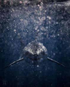 Great White Shark | Instagram photo by @thurstonphoto