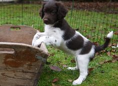 Rare brown and white Stabyhoun puppy
