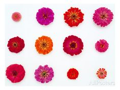 Pinks and Reds on White, Zinnia Family Wall Decal - AllPosters.ca