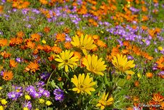 Inside this DAISY FLOWER gallery album you can enjoy large number pictures that you can discover, discuss & give your opinion on. Post + talk about your Daisy Flower pics in addition to rating the photos & posting comments. Wild Flower Meadow, Wild Flowers, Colorful Flowers, Beautiful Flowers, Beautiful Scenery, Beautiful Landscapes, Beautiful Places, Daisy Flower Pictures, South African Flowers
