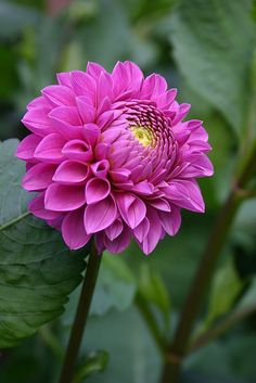 ~~Dahlia - Mary's Jomanda | Pink Ball dahlia, 4 to 6 inch blooms, grows 4 to 6 ft high, stake well | by Angelina Moser~~