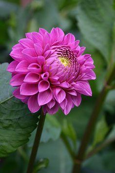 'Pink Ball' Dahlia