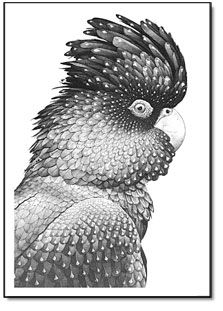 Darren Gilbert pen and ink drawings. Red Tailed Black Cockatoo